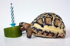 birthday turtle!
