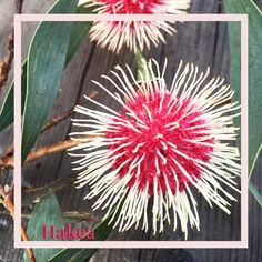 BIRTHDAY CANDLES SEEDS BANKSIA SPINULOSA SMALL SHRUB COMPACT POT 40 SEED PACK