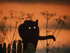 Black Domestic Cat Silhouetted Against Sunset Sky, Eyes Reflecting the Light