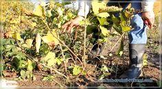 Самое сложное в уходе за плакучей ивой — это ее обрезка. Если в первые годы правильно не сформировать растение, потом придется долго исправлять. У молодых саженцев ранней весной обрезают все побеги, оставляя пеньки по 15 см с одной почкой на конце, смотрящей вверх, можно оставлять смотрящую в сторону, но не внутрь кроны. В результате получается «зонтик». Взрослые экземпляры формируют в апреле-мае после цветения. Побеги укорачивают на 2/3, после чего растение сильно ветвится. В конце мая из…