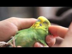 Boo, our courageous injured pet parakeet - YouTube