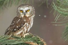 Nothern saw-whet owl.