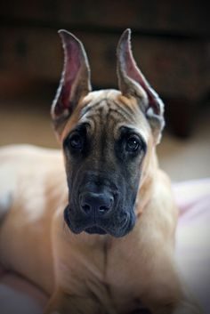"""Great Dane...I had a fawn colored Great Dane when I was young! They are truly """"Gentle Giants""""!"""
