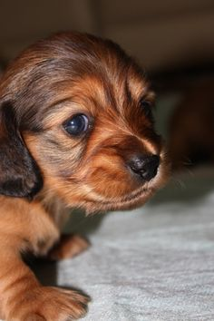 Dachshund puppy.....one day and I will name her Penny And Molly will have a cousin....YUP YUP YUP!