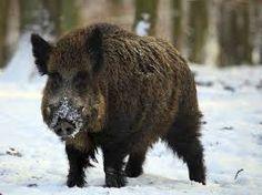 wild boar roaming in the winter time