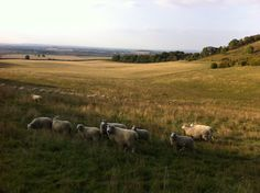 Our sheep in the chiltern hills