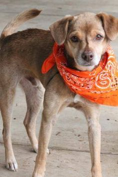 NAME: Brownie ANIMAL ID: 31919674 BREED: Dachshund SEX: male (neutered) EST. AGE: 7 yr Est Weight: 17 lbs Health: heartworm pos Temperament: dog friendly people friendly ADDITIONAL INFO: RESCUE PULL FEE: $35 Intake date: 6/16 Available: Now