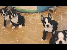 Boston Terrier Puppies - Week 6 - YouTube