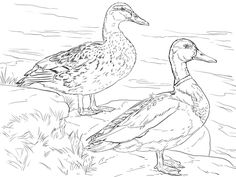 Male And Female Mallard Ducks Coloring Page Free Printable With Two Mallard Ducks Coloring Pages Bird Coloring Pages, Free Printable Coloring Pages, Adult Coloring Pages, Coloring Books, Bird Drawings, Animal Drawings, Canard Colvert, Pyrography Patterns, Colored Pencil Techniques