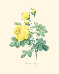 P205 Vintage rosa amarilla impresión 8 x 10 por OrangeTail en Etsy, $14.00