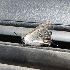 #butterflies Gray Hairstreak photographed by Jeanette Klodzen in Salt Lake City Salt Lake County Utah http://ift.tt/2ueBymt http://ift.tt/2uvdkj1 #macro #insectagram #cars