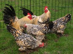 Lemon Mille Fleur Chickens