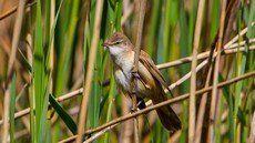 ♫ Carricero Tordal - Escucha la voz del pájaro