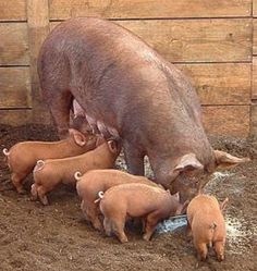 Mother Tamworth Pig and her Baby Piglets Feedtime on the Farm