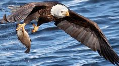 Las aves rapaces pueden ver a sus presas desde grandes alturas para caer en picado sobre ellas - Externa