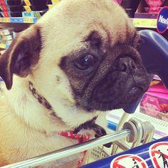 Pug ♥ #pug #pugs #puglovers