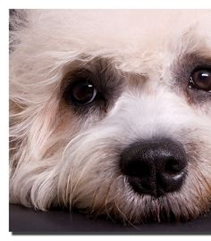 Official Site of the Dandie Dinmont Terrier Club of America | The ...