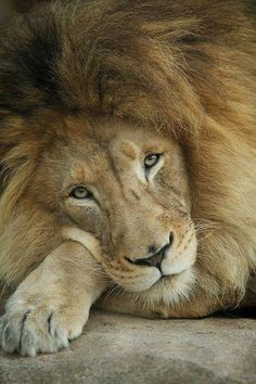 Magnificent Lion, calm & relaxed.