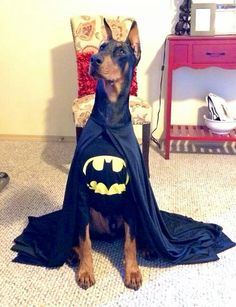 Doberman in a Halloween costume