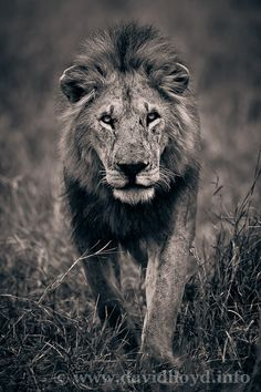 Lion coming !