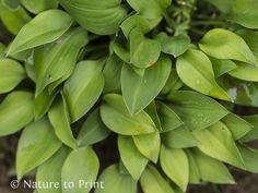 Mini-Hostas teilen: So machen Sie aus einer Pflanze viele.
