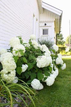 På gaveln av huset står vår hösthortensia. Och där trivs den tydligen. För det är stora blommor på den. Jättestora! Jag älskar ...