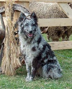1000+ images about Merle mudi on Pinterest | Blue Merle ...