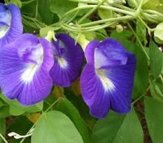 TANAMAN BERKHASIAT OBAT: Khasiat Kembang Telang Herbal Plants, Medicinal Plants, Butterfly Pea, Natural Health Tips, Fruit Plants, Herbal Medicine, Beautiful Flowers, Herbalism, Remedies