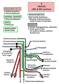 Instant Anatomy - Head and Neck - Nerves - Cranial - X (Vagus)