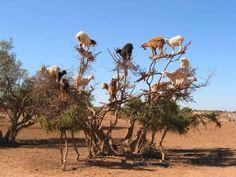 Yup, goats in a tree!..an argan tree that makes glorious oil for my hair..Agadir Morocco