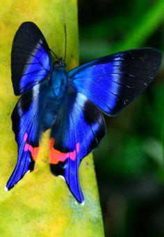 ~~Rhetus Periander Butterfly, Peru   dazzling metallic blue butterfly   by Adrian Hoskins~~