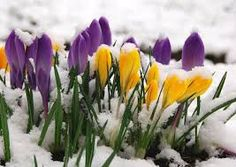 snow and flowers. winter and spring, From Secret Garden, FB Flower Beds, My Flower, Woodland Flowers, Crocosmia, Spring Pictures, Gladiolus, Spring Has Sprung, Daffodils, Nature Photos