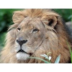 Lion010 Note Cards by ADMIN_CP112632970