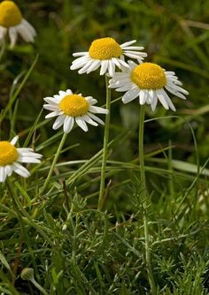 Information about the herb German Chamomile Matricaria chamomilla, also known as Wild Chamomile is part of the Compositae plant family. Herbal Hair Dye, Wildwood Flower, British Wild Flowers, Wild Flower Meadow, Plant Fungus, Meadow Garden, Plant Species, Green Life, Pansies