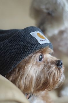 Yorkie in Carhartt Yorkies, Yorkie Dogs, Cute Puppies, Cute Dogs, Dogs And Puppies, Corgi Puppies, Animals And Pets, Baby Animals, Cute Animals