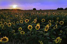 St. Matthews Sunflowers.  Sarah Kirton shoot