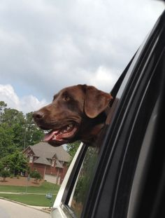 """I love my car rides!"" Champ the Chocolate Lab"