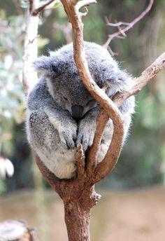 Nap time! Sleepy koala photographed at the Los Angeles Zoo.