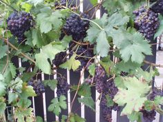 planted grape vines along our fence, to grow up, today too