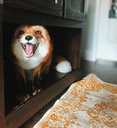 Everything Fox ? : Everything Fox ? Animals And Pets, Baby Animals, Funny Animals, Cute Animals, Beautiful Creatures, Animals Beautiful, Domestic Fox, Wolf Hybrid, Happy Fox