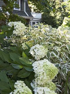 Shrubs will provide your garden with lush, carefree beauty. Here, a flowering Limelight hydrangea mingles with the cream-rimmed foliage of an Ivory Halo dogwood. Ivory Halo Dogwood, Red Twig Dogwood, Hydrangea Landscaping, Front Yard Landscaping, Landscaping Ideas, Backyard Patio, Garden Shrubs, Shade Garden, Dogwood Shrub