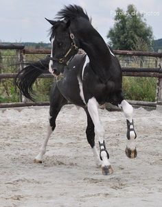 Spirited horse with beautiful black and white markings.