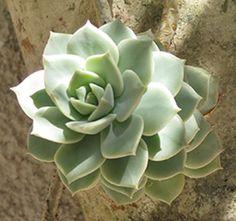 Graptoveria Titubans - somanatureza.com.br