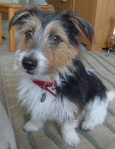 Eddie the rough-coated Jack Russell. He is *gorgeous*, is he not?