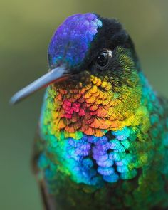 Fierty-throated hummingbird, Costa Rica Photo by Jess Findlay