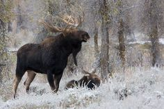 SHMS00327 Shiras Moose photo by Ken Archer. All rights reserved.