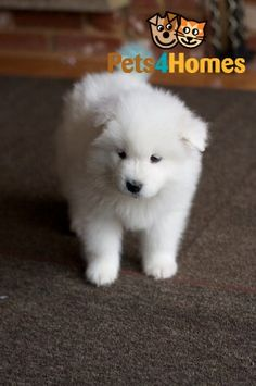 Samoyed Polar Bears **READY NOW** | Manchester, Greater Manchester | Pets4Homes