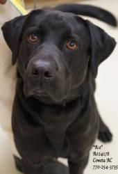 """#GEORGIA #U ~ I-14 Ace ID A024178 is an #adoptED Black Labrador Retriever Dog in #Newnan. WOW is he handsome! Just take a look at that heartthrob face....he could be a hollywood hottie! """"Ace"""" is also a big guy weighing approximately 81 lbs! We've had him with other dogs & didn't see aggression....just watch his videos. DESPERATELY needs a safe & loving home or #rescue ASAP as his time is rapidly running out! ADOPTIONS MUST BE DONE IN PERSON. Coweta County Animal Shelter P 770-254-3735"""