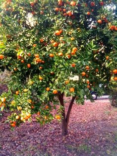 Popular Satsuma Trees- can be grown indoors or out. More like tangerine than an orange
