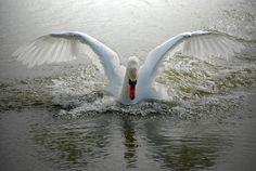 Swan | swan wings wide spread (78219). bird, cygnus olor, swan, swan wings ...